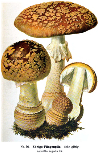 Amanita regalis, plate of Michael (1903), possibly representing German material.